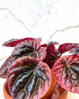 Peperomia Abricos